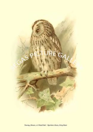 Tawny, Brown, or Wood-Owl - Syrnium Aluco, Grey Race